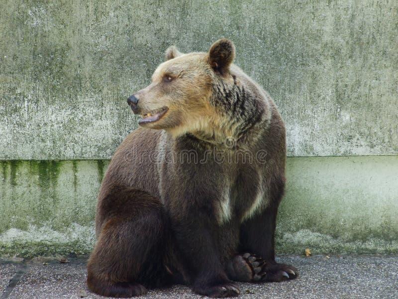 Björn på zoo i Zagreb arkivbild