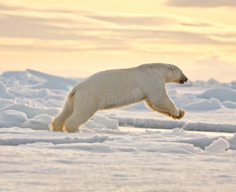 björn som hoppar polar snow arkivbild