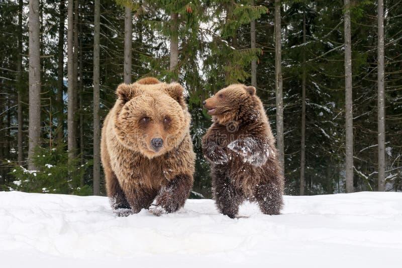 Björn som spelar i vinterskogen fotografering för bildbyråer