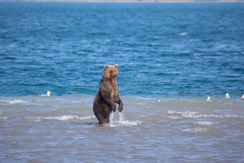 Björn som står fiska i vatten Kronotsky naturreserv kamchatka Ryssland royaltyfri foto
