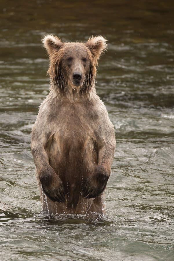 Björn som står på bakre ben i floden arkivfoton