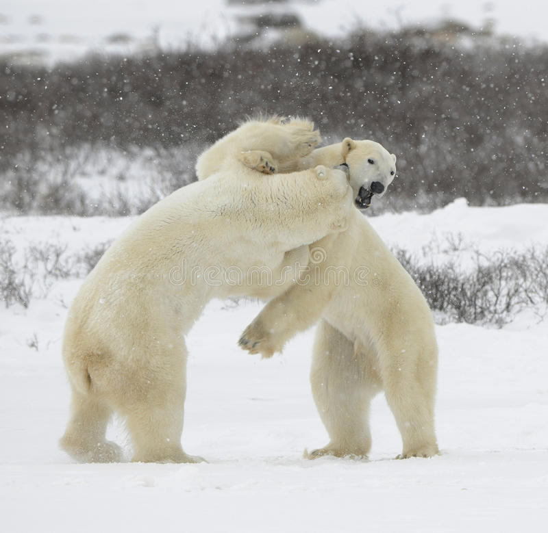 björnar 1 slåss polart arkivbild