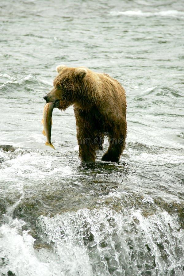 björnar royaltyfria bilder