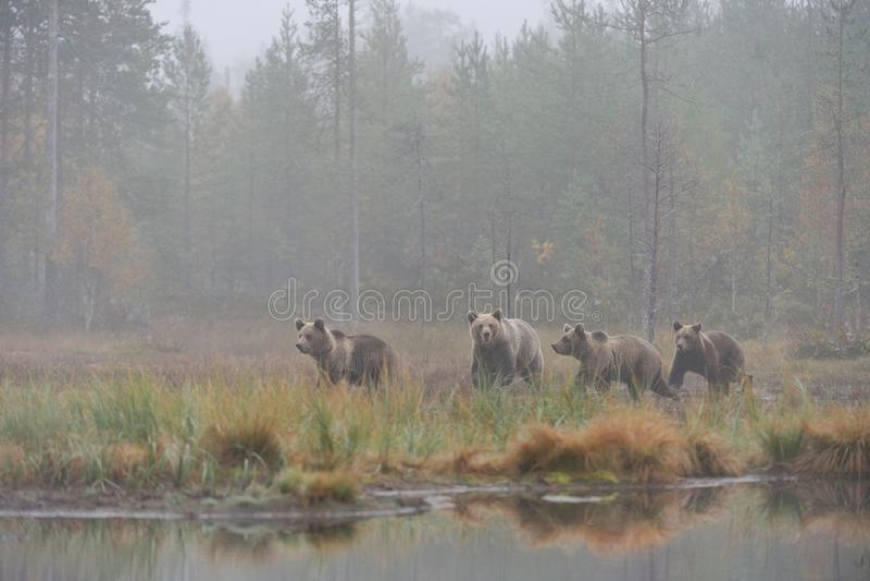 Björnar i dimman arkivbilder