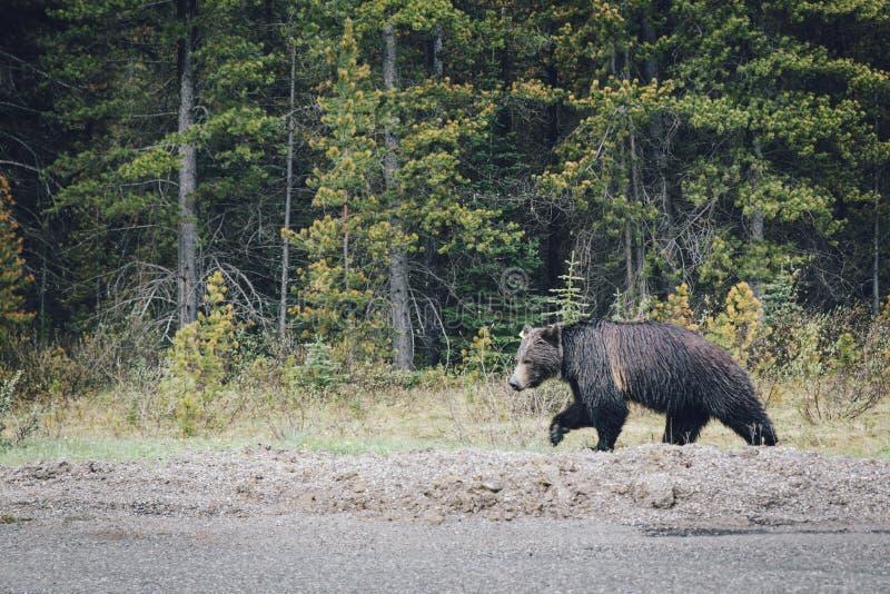 Björnar på Jasper National Park arkivfoton
