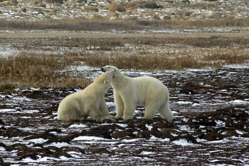 björnar som slåss male polara två arkivfoton