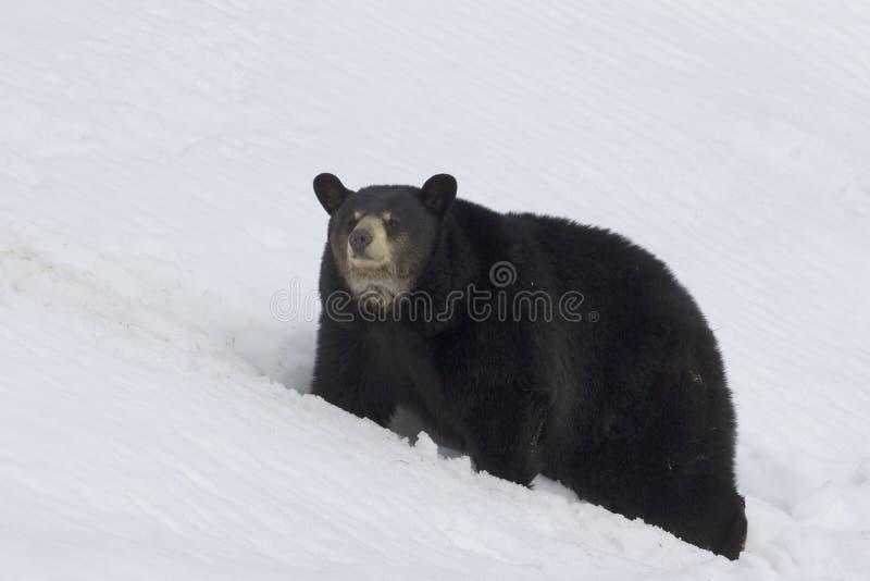 björnblack arkivfoton