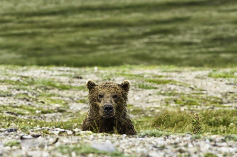 Björnblick i Katmai royaltyfria bilder