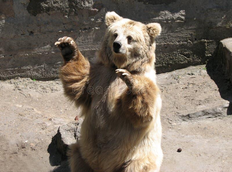 björnbrown arkivfoto