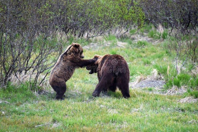björnbrown som leker två royaltyfria bilder
