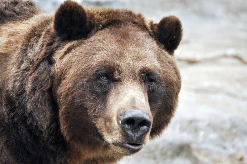 björncloseupgrizzly royaltyfria bilder