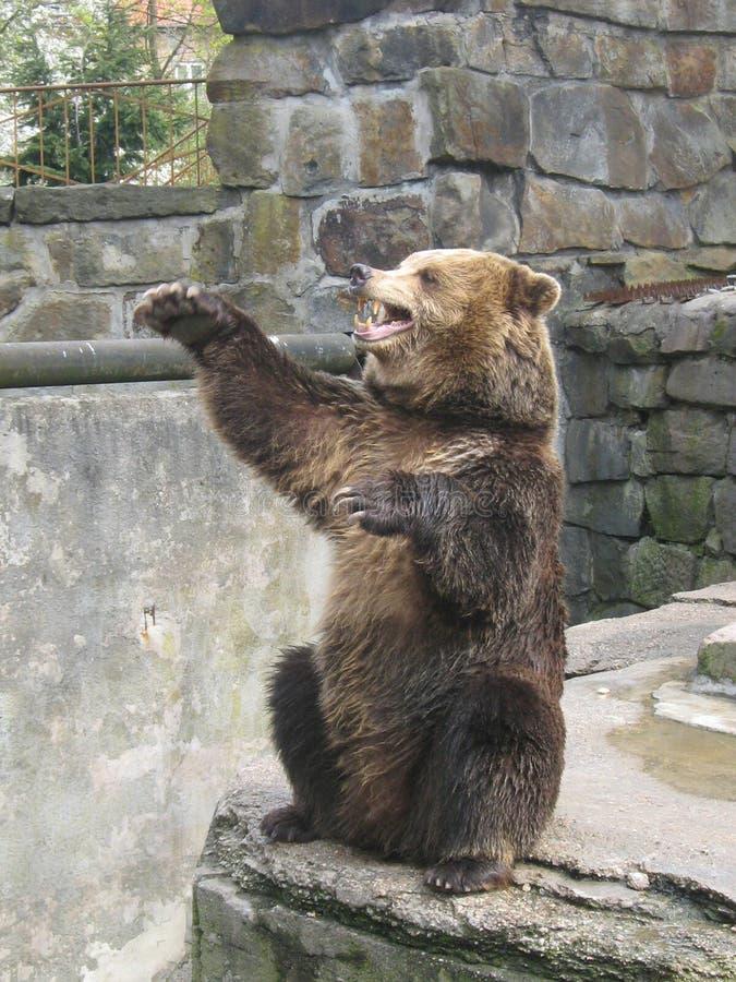 Björnen frågar sötsaker i zoo royaltyfria foton