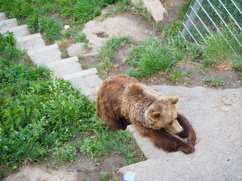 Björnen i björn parkerar på Bern Switzerland arkivbilder