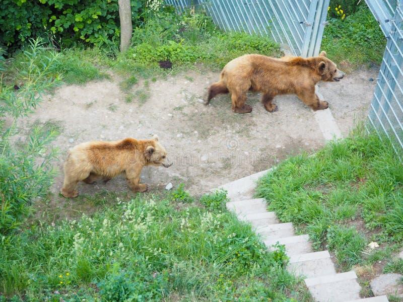 Björnen i björn parkerar på Bern Switzerland royaltyfria foton