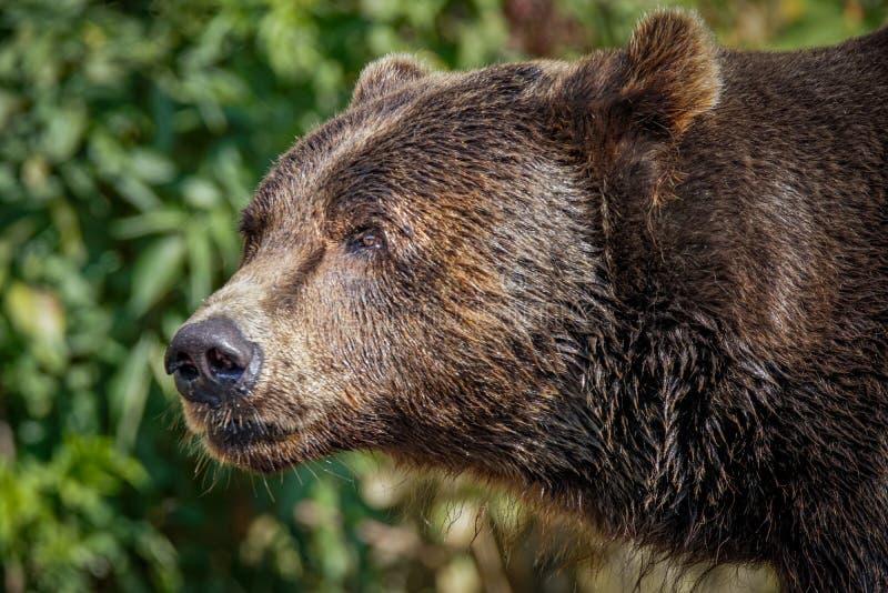 Björnen like att le royaltyfria bilder