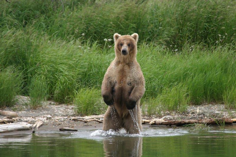 björnfiskare royaltyfri foto