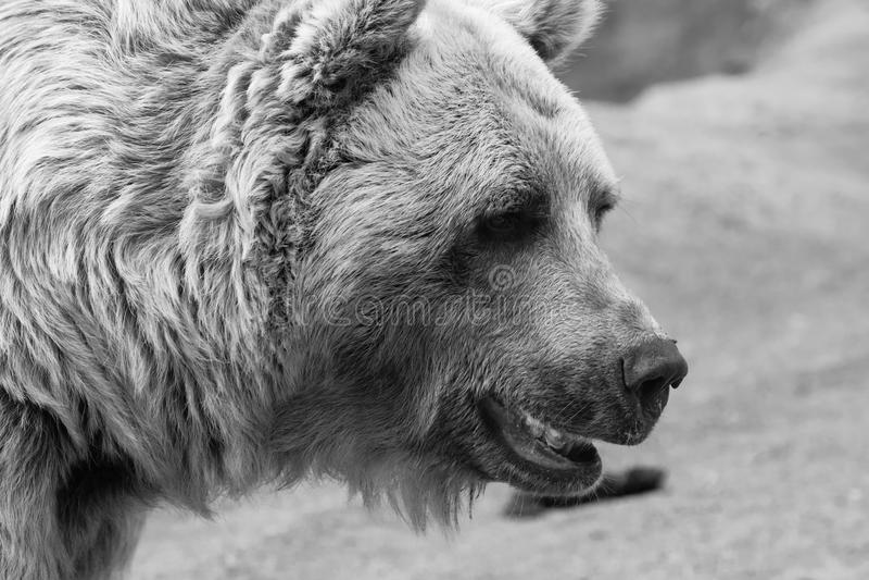 Björnframsida i svartvitt arkivbild