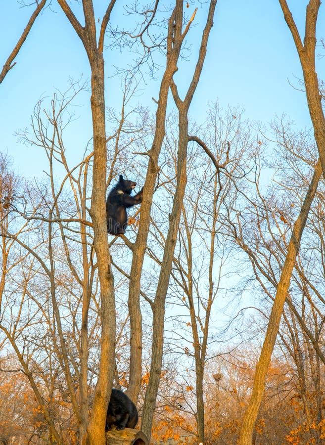 Björngröngölingar spelar i ett träd som högt klättras på filialerna och en gullig tugga royaltyfri fotografi