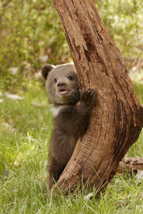 björngröngölinggrizzly arkivfoto