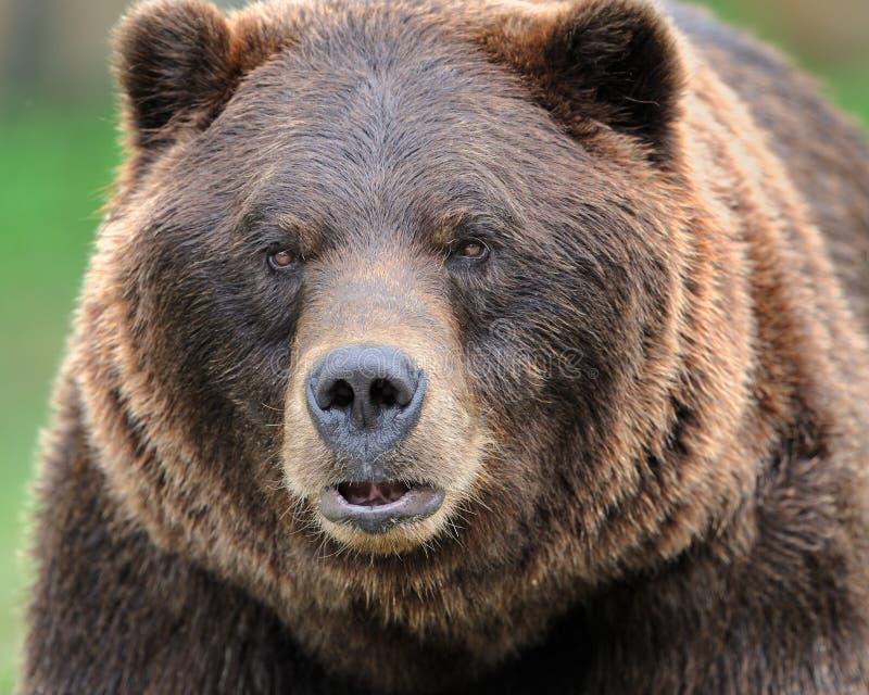 björngrizzly arkivfoton