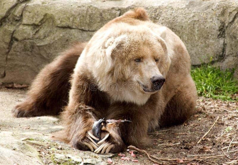 björnkodiak arkivfoto