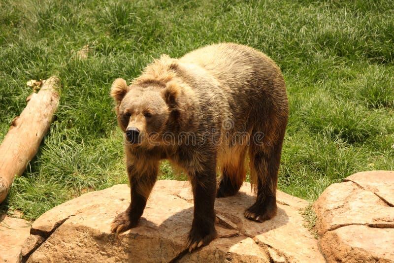 björnkodiak arkivbilder