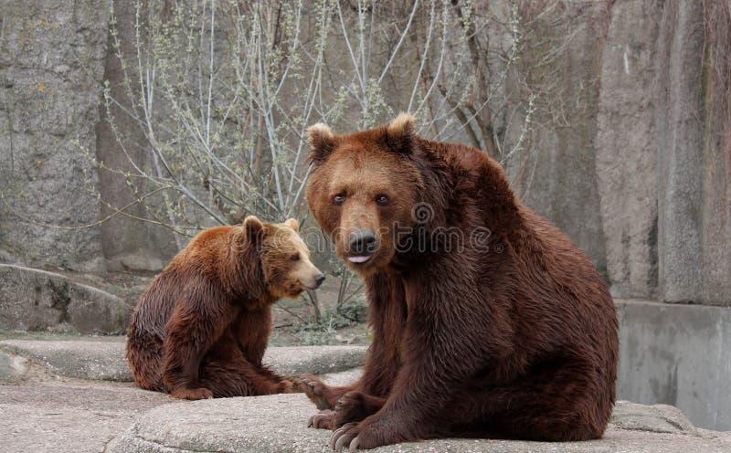 björnrock arkivbilder