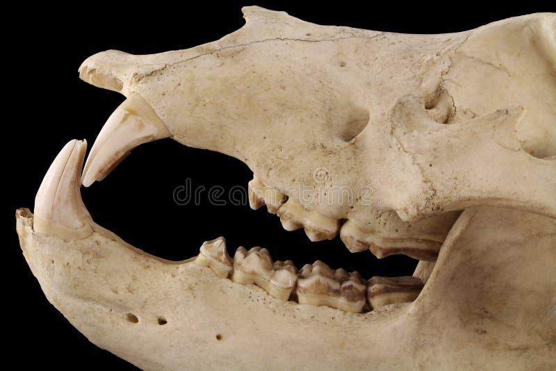 Björns käkar som isoleras på ett svart bakgrundsslut upp arkivbilder