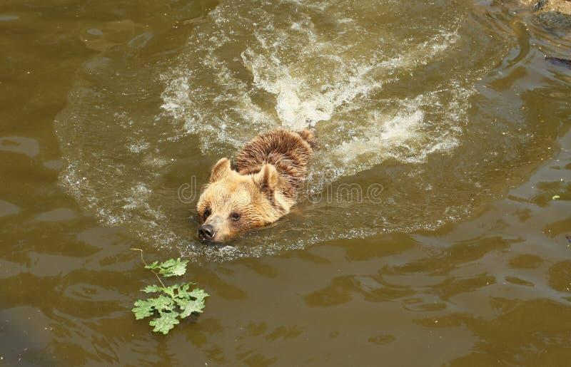 björnsimning royaltyfri foto
