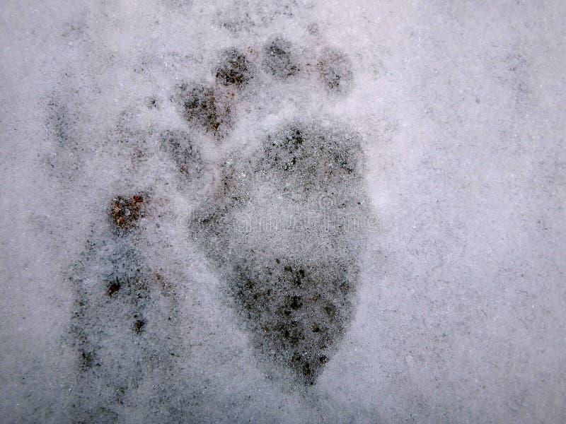 Björnspår i snön arkivbild