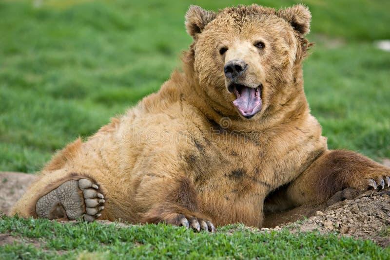 björnuttryckskodiak fotografering för bildbyråer