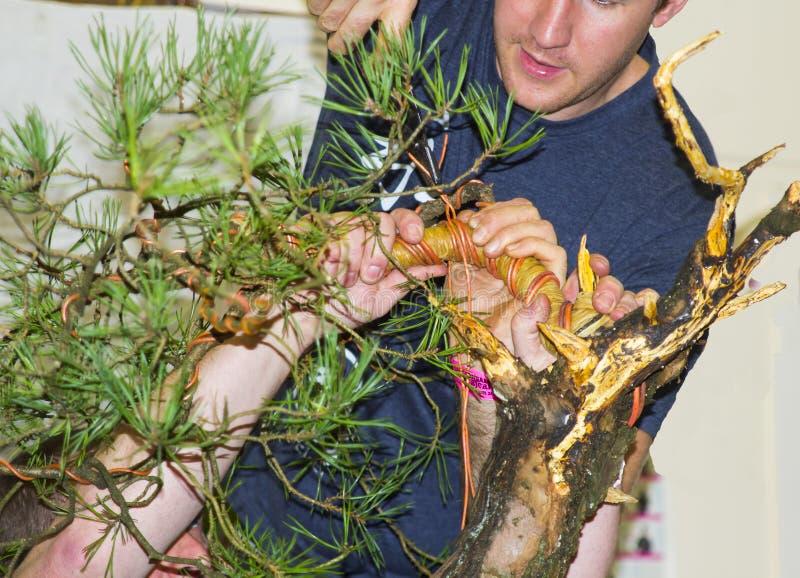 Bjorn Bonholm en los primeros tiempos de crear un bonsai de Sylvestris del pinus del pino escocés en una demostración pública en  fotos de archivo