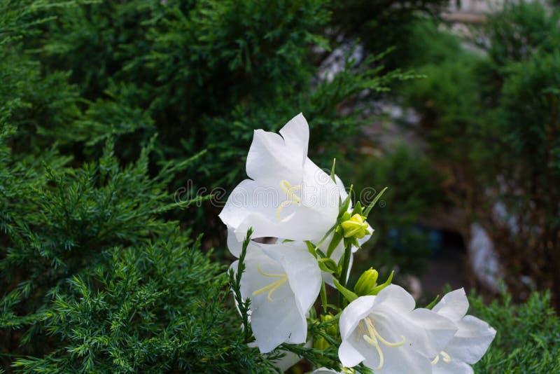Blühen Sie eine Handglocke der weißen Farbe auf einem grünen Hintergrund lizenzfreie stockbilder