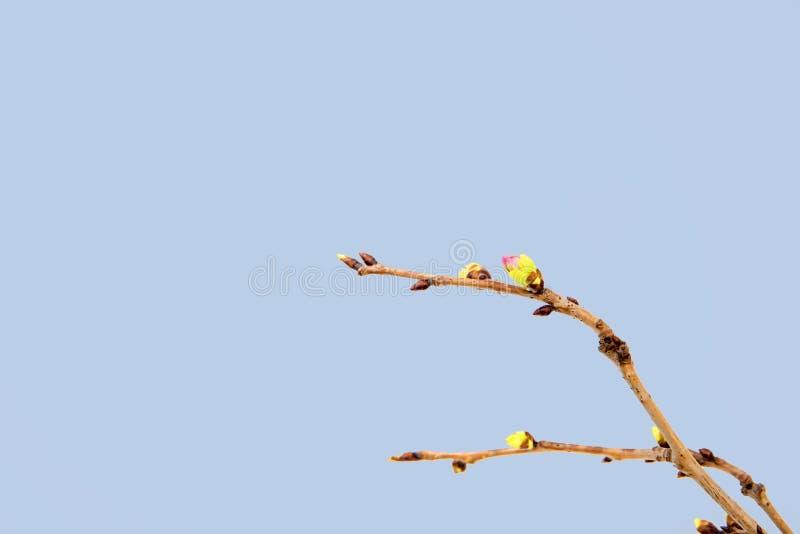 Blühende Kirschniederlassung lokalisiert auf blauem Hintergrund stockfotos