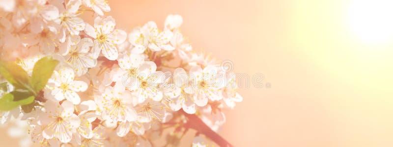 Blühende Niederlassung des weißen Apple- oder Kirschbaumfrühlingsgrenzhintergrundes stockbilder