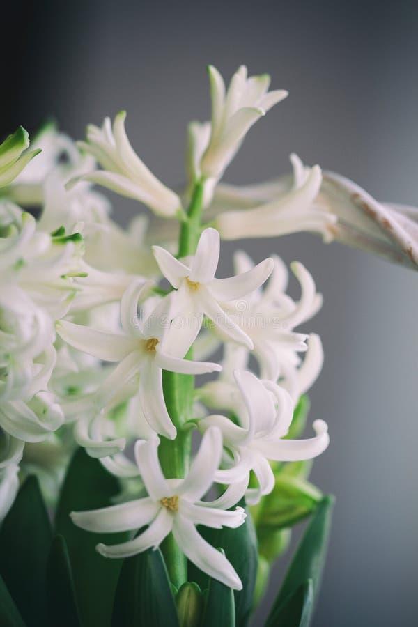 Blühende weiße Hyazinthen in einem weißen Korb Gerade ein geregnet lizenzfreie stockfotografie