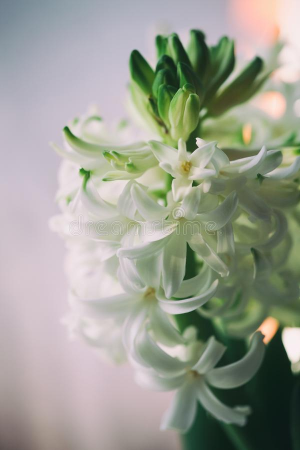 Blühende weiße Hyazinthen in einem weißen Korb Gerade ein geregnet stockbild