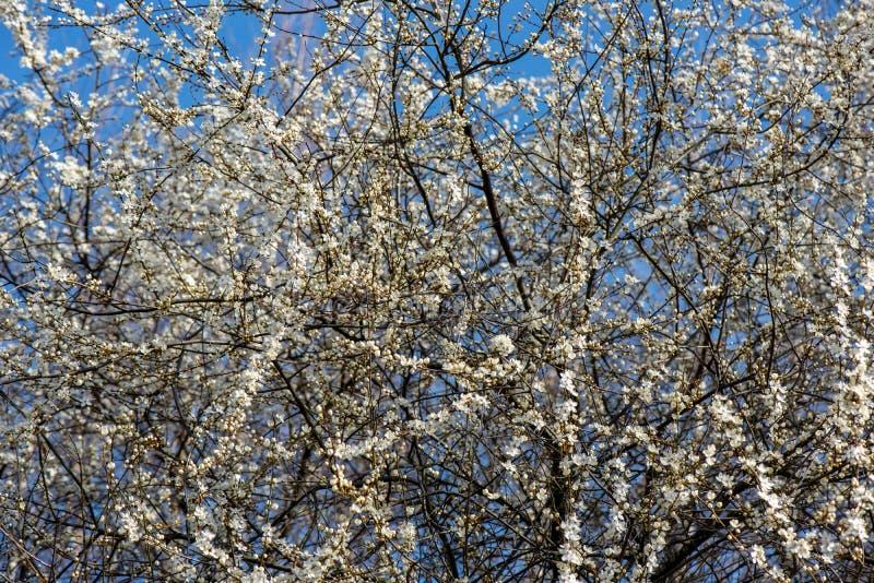 blühender Kirschbaum im Frühjahr mit blauem Himmel und weißen Blüten lizenzfreie stockfotografie