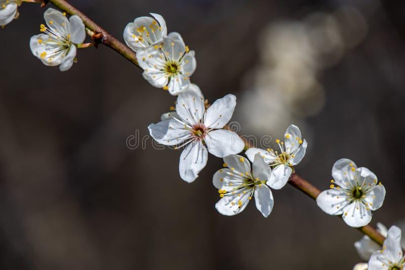 blühender Kirschbaum im Frühjahr mit blauem Himmel und weißen Blüten stockfoto