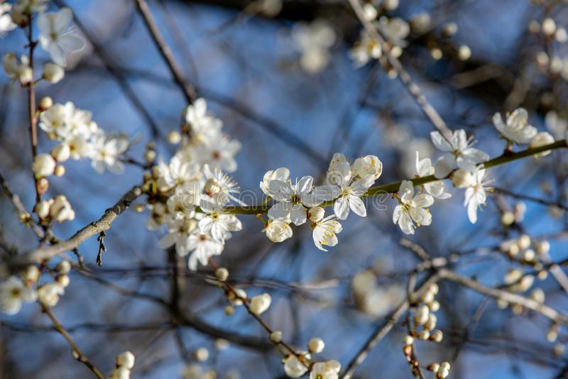 blühender Kirschbaum im Frühjahr mit blauem Himmel und weißen Blüten lizenzfreie stockfotos