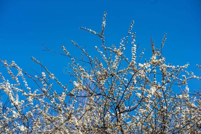 blühender Kirschbaum im Frühjahr mit blauem Himmel und weißen Blüten stockfotos