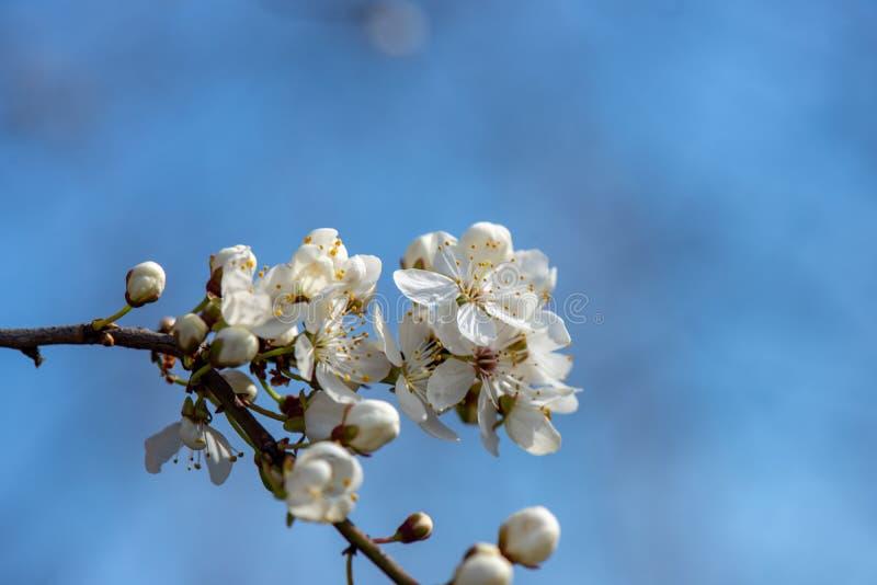 blühender Kirschbaum im Frühjahr mit blauem Himmel und weißen Blüten stockfotografie