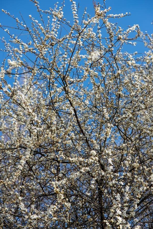 blühender Kirschbaum im Frühjahr mit blauem Himmel und weißen Blüten stockbilder