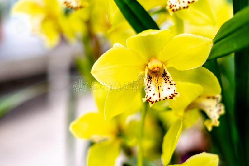 Blüte der gelben Cymbidiumorchidee lizenzfreies stockbild