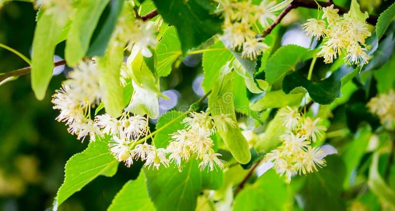 Blüte der Linde Linde der weißen Blumen auf dem tree_ stockfoto
