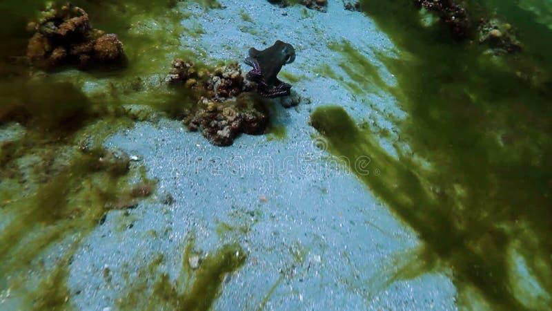 bläckfisk stock video