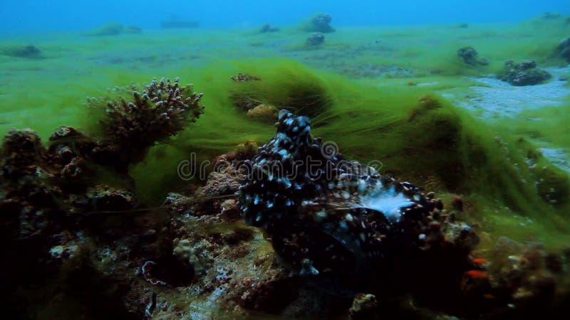 bläckfisk lager videofilmer