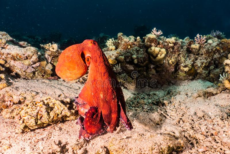 Bläckfiskkonung av kamouflage i Röda havet arkivfoto