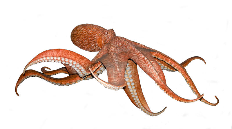 bläckfiskwhite royaltyfri fotografi
