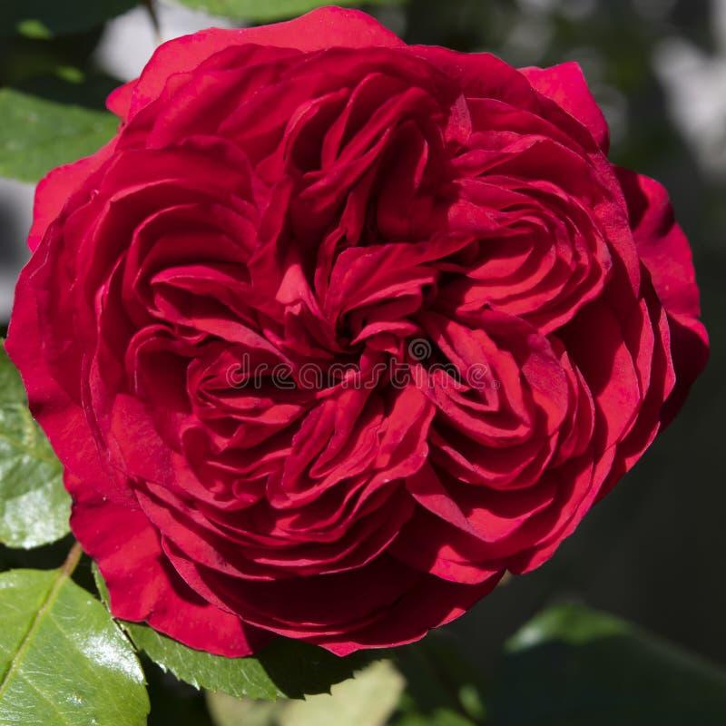 Bländande röd ros i trädgård royaltyfri fotografi